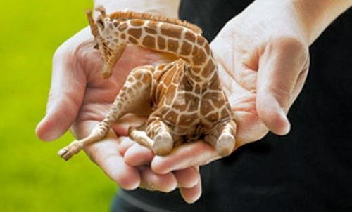 DirectTV Marketing Campaign Petite Lap Giraffes - 4585139712