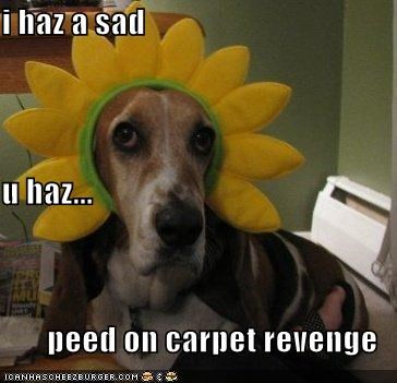 basset hound,carpet,costume,do not want,dressed up,Flower,has,i has,peed,revenge,Sad,upset,you