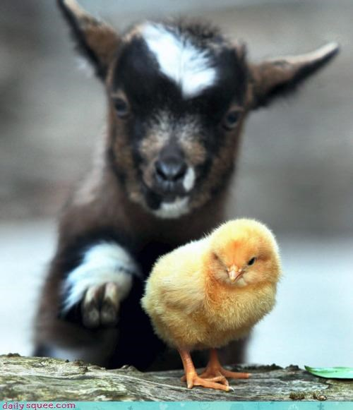 Babies,baby,chick,end,friendship,goat,petting,squee spree