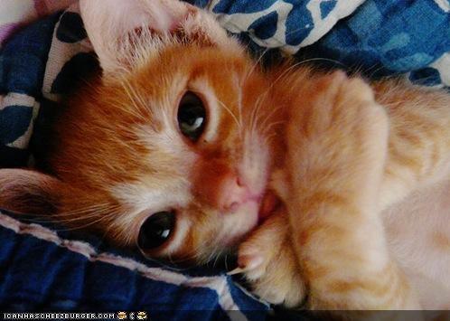 cross my heart cyoot kitteh of teh day heart kitten orange - 4587231744