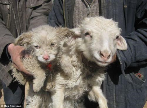 Animal Hybrid,I WANT TO BELIEVE,Sheep Dog