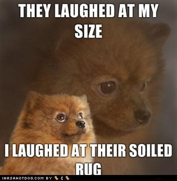 after,before,laughed,laughing,meme,memedogs,mixed breed,pomeranian,revenge,rug,size,soiled