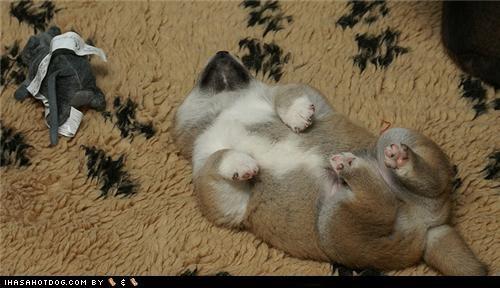 asleep puppy shiba inu sleeping sleepy themed goggie week upside down - 4589099008