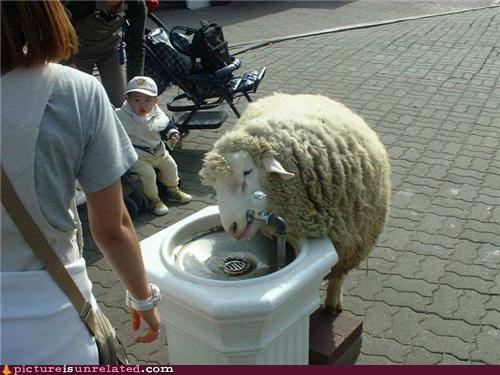 awesome,drinking fountain,sheep