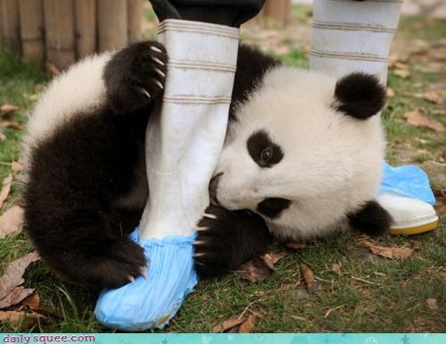 acting like animals bamboo boot confused cub do not understand eating FAIL gnawing lie panda panda bear pun upset - 4590508288