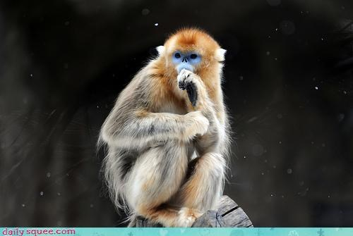 adorable,baby,golden snub nosed monkey,monkey,nose,pacified,pacifying,snub,snub nosed,sucking,tantrum,thumb