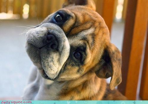 bulldog cannot helpless persuasive powerless puppy puppy eyes resist - 4590696704