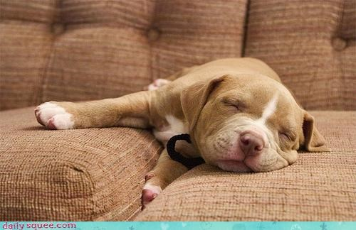 anticipation,anticipatory,asleep,couch,nap,nap time,pit bull,pitbull,puppy,sleeping
