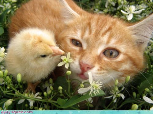 cat,chick,friends,friendship,heartwarming,interspecies friendship,protection,tabby,unlikely