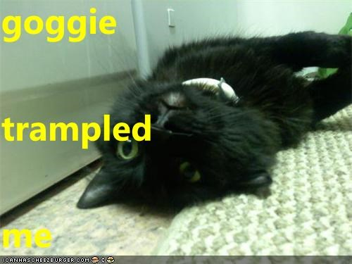 goggie trampled  me