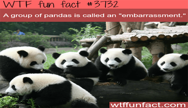 panda cute wtf facts funny true facts - 4598277