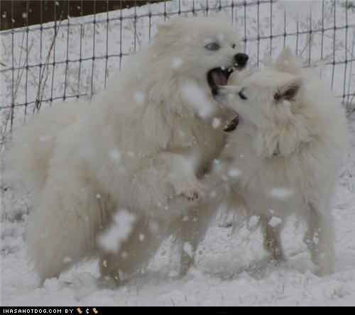 american eskimo dog dogs playing snow themed goggie week winter wrestling - 4598829824