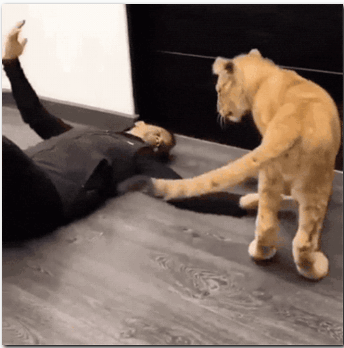 gifs of giant big cats being all cuddly and cat-like despite their enormous size