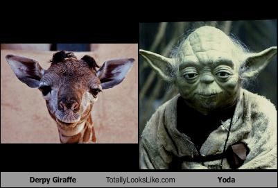 animals,derp,giraffes,star wars,yoda