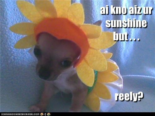chihuahua,costume,disbelief,do not want,dressed up,i know,literalism,puppy,really,sunshine,unhappy,upset