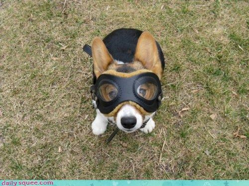acting like animals adorable corgi dogs flying goggles peanuts pilot red baron snoopy