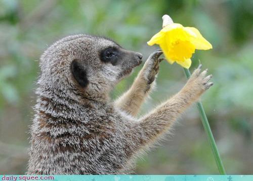 chivalry daffodil fiancé Flower gift meerkat picking present sweet - 4600030976