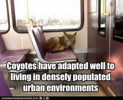 adapted,caption,captioned,coyote,densely,environment,living,populated,urban