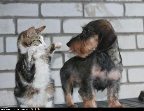 cat,cute,friends,friendship,kittehs r owr friends,kitten,playing,puppy,schnauzer,Staring,tongue
