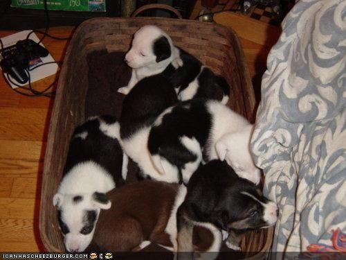 basket,basketful,cyoot puppeh ob teh day,pile,puppies,puppy,sleepy,whatbreed,wonderful