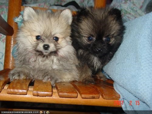 chair cramped cyoot puppeh ob teh day not enough pomeranian pomeranians puppies puppy room space - 4602386944