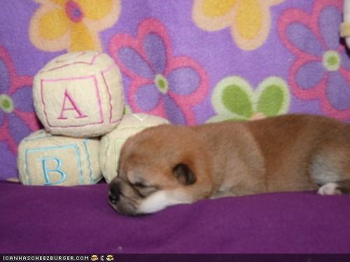 asleep blocks building cyoot puppeh ob teh day nap puppy shiba inu sleeping toy toys - 4602393088