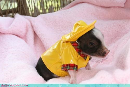adorable,baby,dressed up,hat,pig,piglet,poncho,rain,raincoat,slicker