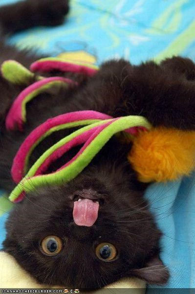 attack black cat cyoot kitteh of teh day playing tongue toys upside down - 4603474176