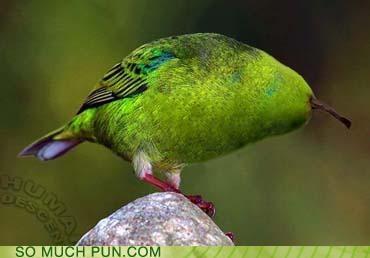 bird homophone literalism parakeet pear photoshop prefix similar sounding - 4604472320