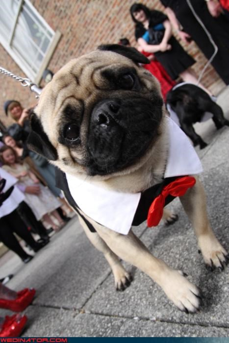 dogs funny wedding photos pugs - 4606089728