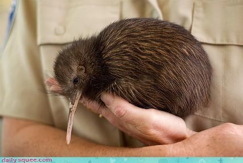 bird dream dreaming flight flightless kiwi sleepy squee spree Video - 4606639616