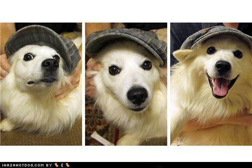 american eskimo dog,fashion,happy,hat,modeling,posing,show,themed goggie week