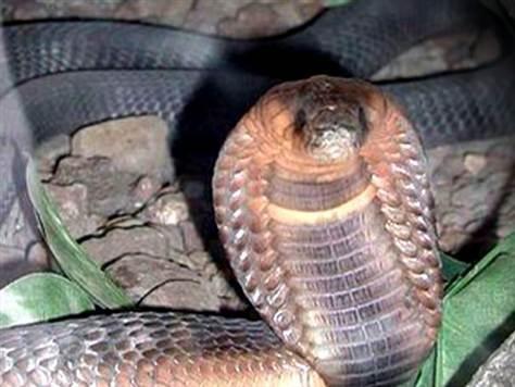 Breaking News,Bronx Zoo Cobra,End Of An Era