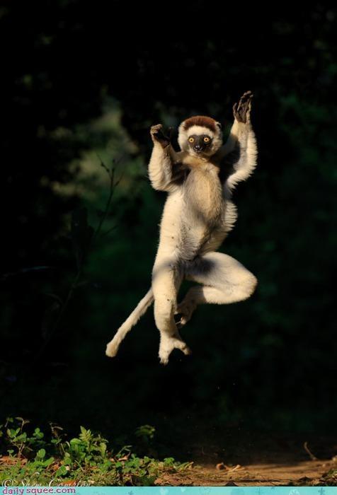 acting like animals karate kick kicking neologism ninja pun robin hood self-centered sifaka - 4609869824