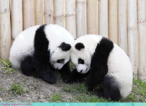 bear bears brainstorm brainstorming cub cubs heads idea nap time osmosis panda panda bear panda bears together