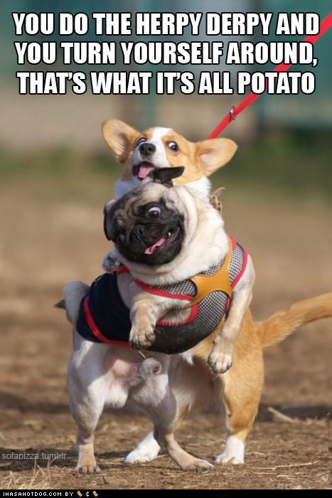 corgi,dance,dancing,derp,derpface,hokey pokey,instructions,lyrics,pug