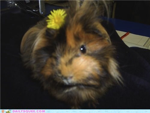 friendly,guinea pig,reader squees,shop,sister,sisters