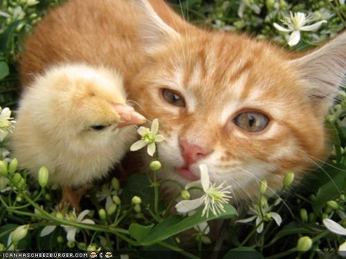 chickens chicks cyoot kitteh of teh day food Interspecies Love lolchicks mcnuggets - 4612746752