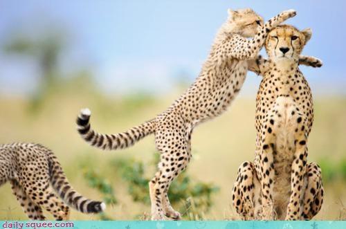 acting like animals cheetah cheetahs do not want game lady gaga preference single song - 4613203456