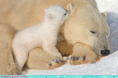 baby bear bears cub Hall of Fame lullaby mother polar bear polar bears sleeping switch whispering - 4616622848