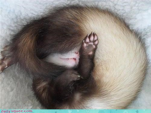 asleep curled up do not want ferret five more minutes forever getting up sleepy tired upside down waking up - 4619998976