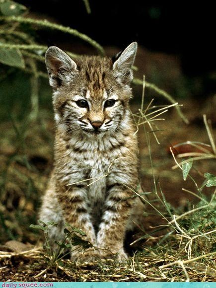baby bobcat cub photogenic posing smiling squee spree winner - 4620991744