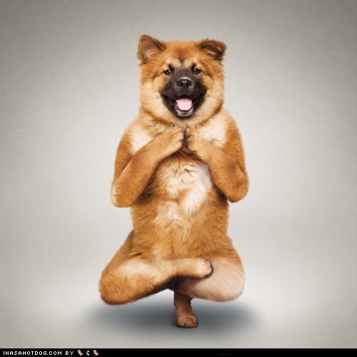 hindu meditating om posing practicing shiba inu yoga - 4621186816