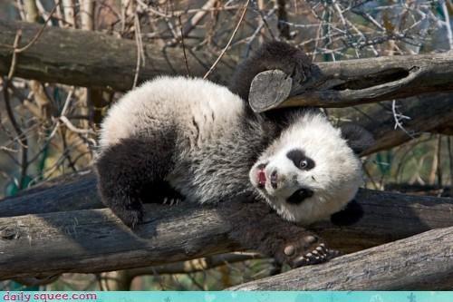 acting like animals advice bad idea balancing FAIL falling mistake note to self panda panda bear regret - 4622472448