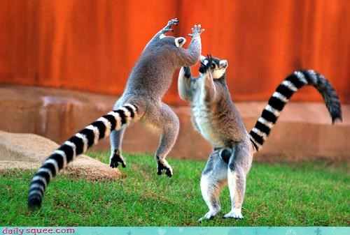 acting like animals awesome comparisons compliment congratulations high five high ten lemur lemurs point shot spike two hands volleyball - 4622485248