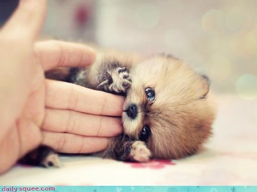 biting dogs fingers gnawing nom nomming omnomnom pomeranian pun puppy tiny - 4622501888