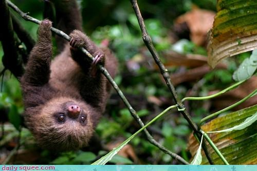 adorable,baby,branch,claws,curling,dangling,grasping,sloth,upside down