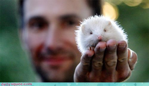 acquired adorable albino albino hedgehog baby dream dreams hedgehog item rare the legend of zelda tiny - 4622526976