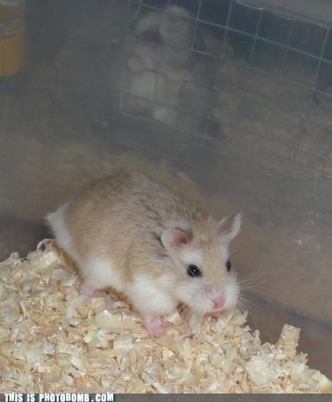 Animal Bomb cute hamster pets - 4623192064