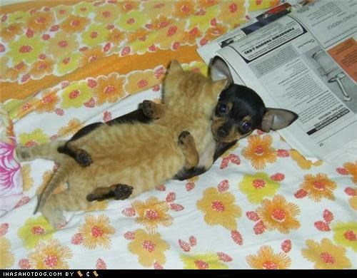chihuahua hug hugging kittehs r owr friends kitten puppy scared scary - 4624122368